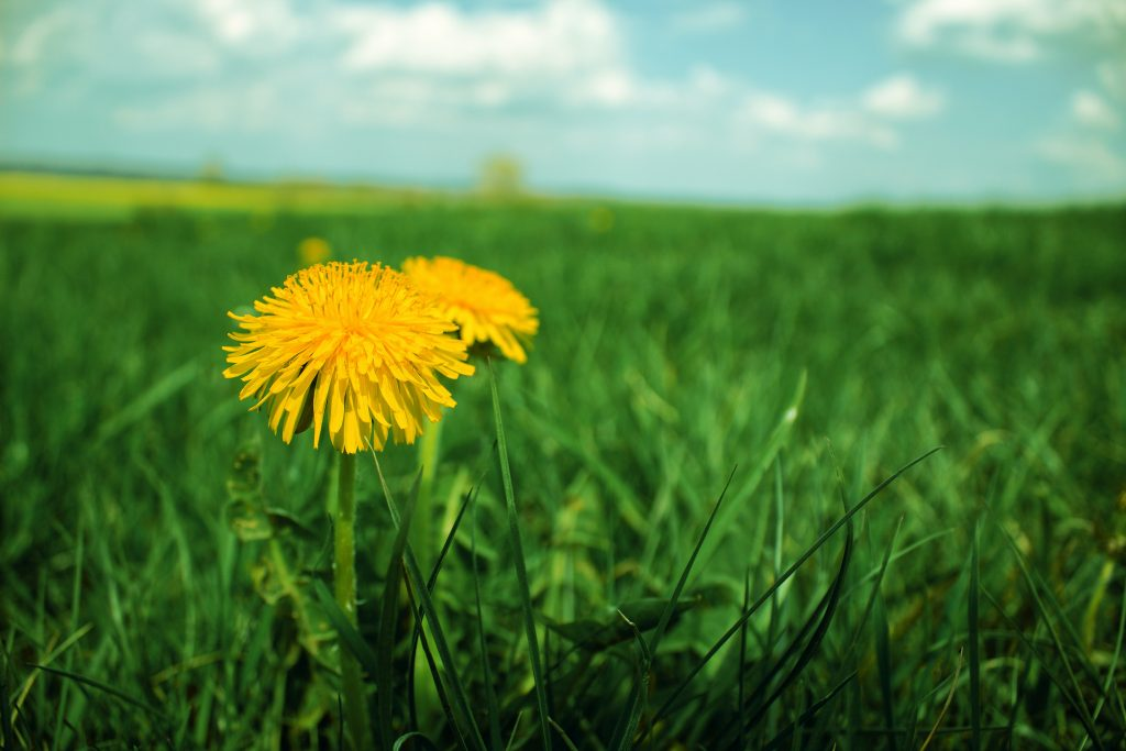 Dandelions are common in Australia and need to be controlled. Weed control with Satusteam works well on them.